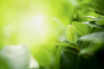 Closeup beautiful view of nature green leaves on blurred greenery tree background with sunlight in public garden park. It is landscape ecology and copy space for wallpaper and backdrop. Wall mural