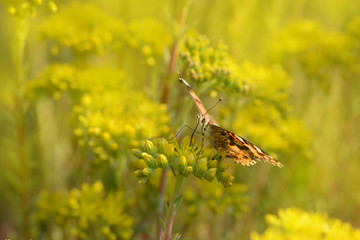 Schmetterling 615