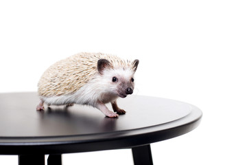 Little African hedgehog on a white background looking forward