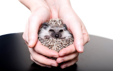 A small African hedgehog on a white background curled up in a ball Wall mural