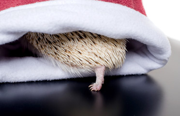 Small African hedgehog is hiding in the hat all you see are the needles and presser foot. Close up