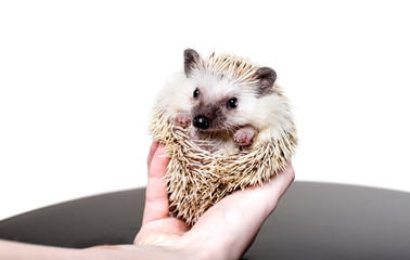 A small African hedgehog on a white background curled up in a ball