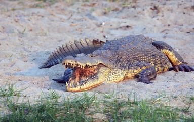 Big male Nile crocodile