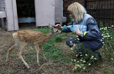 A zookeeper strokes Korzhik, one of three orphaned roe deer fawns, at the Royev Ruchey zoo in Krasnoyarsk