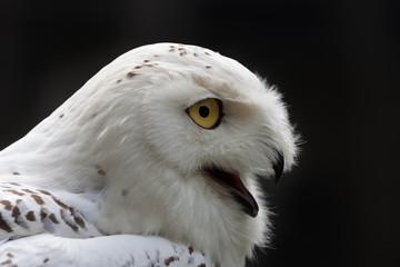 Snowy Owl (Bubo scandiacus) against a dark background Fotoväggar