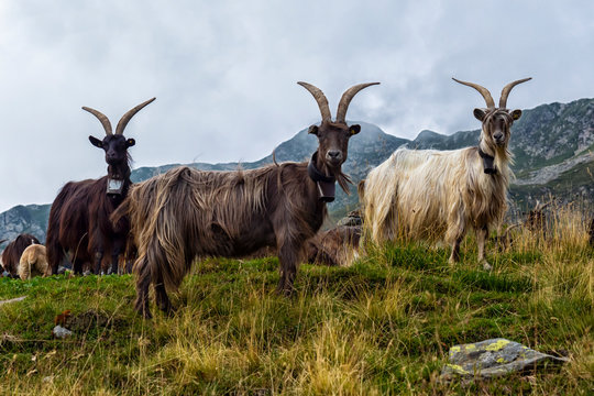 Goat close-up in the italian alps