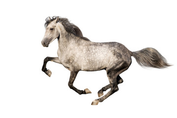 Wall Mural - Grey horse with long mane run isolated on white background