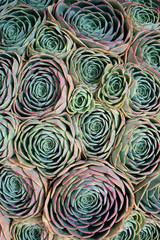 Close-up of colorful succulents shot from overhead
