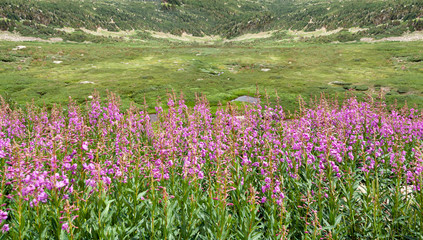 Field of purple wildflowers blooming in a Colorado spring mountain landscape
