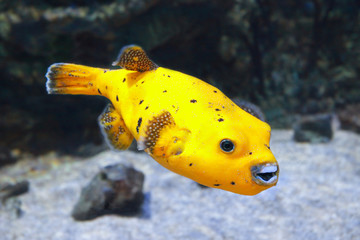 Yellow Blackspotted Puffer Or Dog-faced Puffer Fish