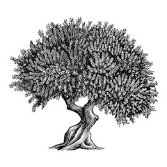 Illustration of an Olive Tree in a vintage style