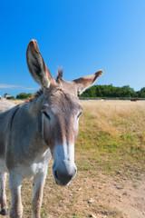 Famous donkey on Ile de Re