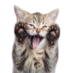 Funny kitten cat portrait with open mouth and two paws uoisolated