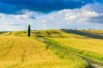 Group of italian cypresses near San Quirico d´Orcia - Beautiful landscape Scenery -  Val d'Orcia, Tuscany, Italy