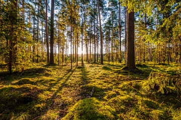 Wall Murals Forest Early morning with sunrise in pine forest