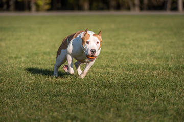 American Bulldog is Running on the Grass. Try To Catch a Ball.