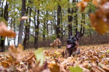 German Shepherd Dog is Lying on the Grass. Autumn Leaves Falling