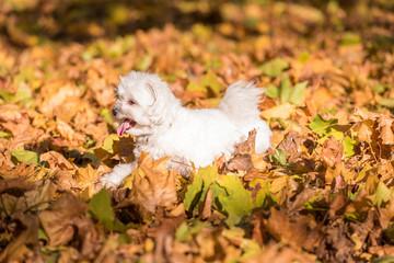 White Happy Maltese dog is running on autumn leaves.