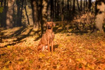 Rhodesian Ridgeback Dog Is Sitting