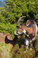 Goats herd while grazing in the mountains.