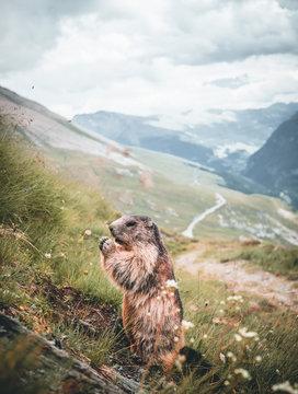 portrait of alpine marmot, marmot on a rock in austria