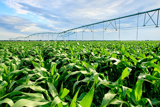 FIELD WITH GROWS OF CORN WITH AN ARTIFICIAL IRRIGATION SYSTEM