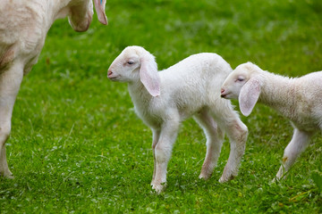 Playful lambs in the pasture.