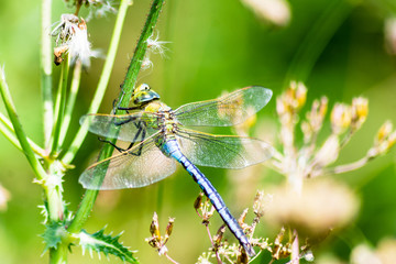 Emperor Dragonfly - Anax imperator perched resting on a plant