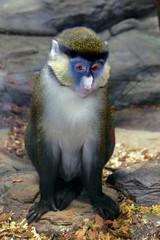 Cercopithecus petaurista an african monkey