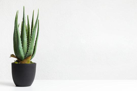 Aloe vera plant in black pot over white wall