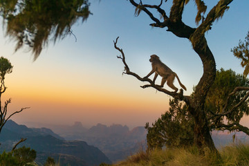 Foto op Aluminium Aap Gelada baboon sitting on a branch and watching the sunset