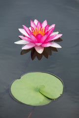 Fotobehang Waterlelies Pink water lily in pond