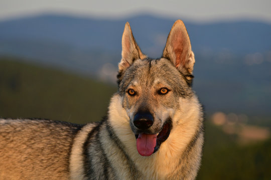 Portrait of a czechoslovakian wolfdog.
