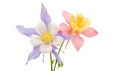 aquilegia flower isolated