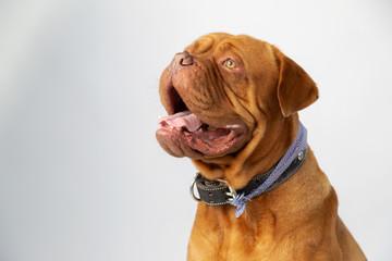 Portrait of burgundy bulldog smiling looking up- purebred dog Wall mural