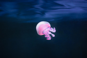 Fototapete - purple jellyfish rhizostoma pulmo underwater
