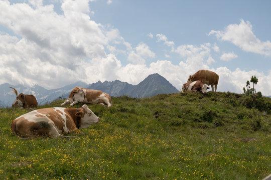 Kühe in Tirol