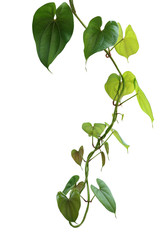 Wall Mural - Hanging twisted vine liana plant with heart shaped green brownish leaves of purple yam or winged yam (Dioscorea alata) the tropic forest climber plant isolated on white background with clipping path.