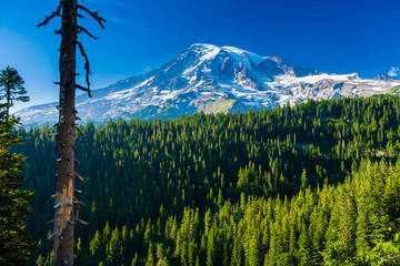 Wall Mural - Forest of pine trees with snow covered Mt. Rainier in the distance on a blue sky day in Mt. Rainier National Park.