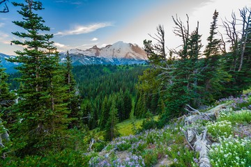 Wall Mural - Looking across a valley forest of pine trees with snow covered Mt. Rainier in the distance during late afternoon in Mt. Rainier National Park.