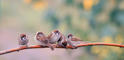 Wall Mural - little funny Chicks birds Sparrow sitting on a branch together snuggling up to each other in a Sunny Park