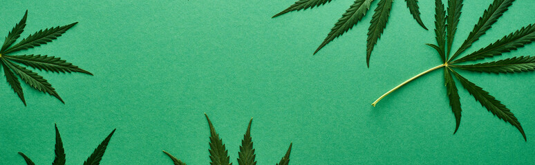 top view of green hemp leaves on green background, panoramic shot