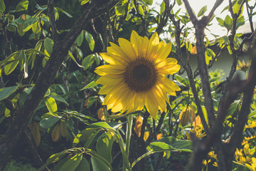ozdobny słonecznik w ogrodzie