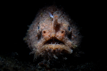Wall Mural - A Striated frogfish sits in the dark waiting to ambush prey in Lembeh Strait, Indonesia. This well-camouflaged fish is rarely seen because it blends into its surroundings so well.