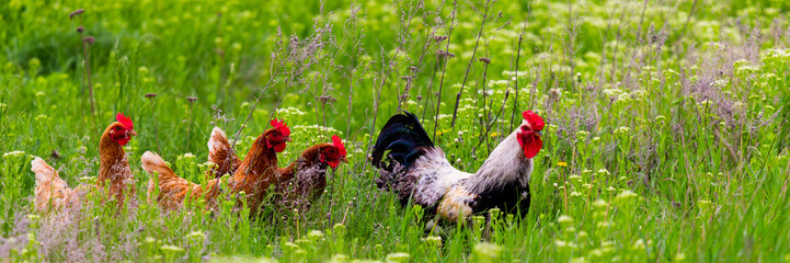 Photo sur Plexiglas Poules Rooster and hickens walking in green field