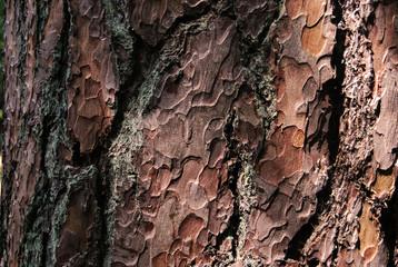 Fototapeta Kora drzewa sosny obraz