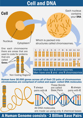 Cell, chromosome and DNA vector illustration. illustration of Biology. Chromosome structure. Genome study. Vector illustration for medical, science, and educational use. Infographics