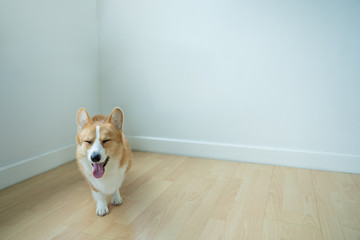 The adorable dog corgi stood and smiled in the corner of the living room after training. Wall mural