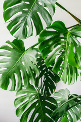 Exotic tropical monstera palm leaves at home.