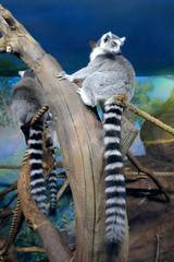 The ring-tailed lemurs (Lemur catta) sitting on logs. Zoo